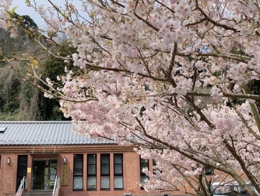 春めき桜3