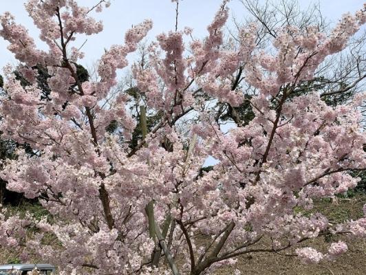 春めき桜1