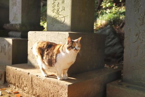 お寺の三毛ちゃん