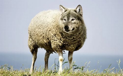 wolf-in-sheeps-clothing-2577813_960_720.jpg