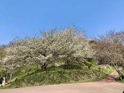 The flowering situation of cherry blossoms③