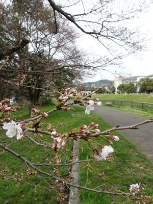 山科川沿い桜2003