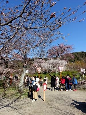 円山公園の桜2003