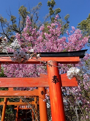 平野神社の桜2003