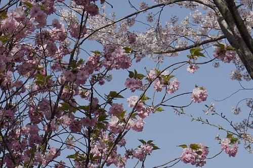 ヤエ桜とソメイヨシノ