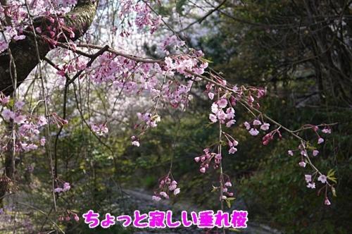 ちょっと寂しい垂れ桜