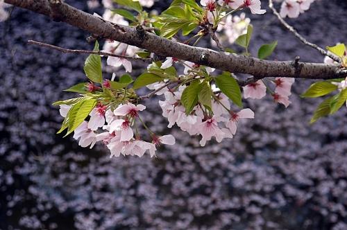 池には桜の花びらが