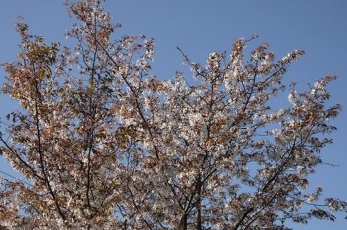 ゆうーくんのおばたんの家の山桜