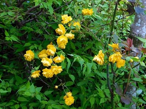 意外と多かった八重山吹の花