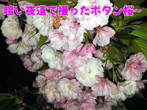 最後のボタン桜
