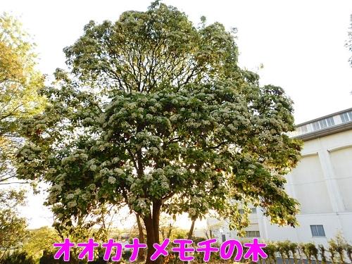 オオカナメモチの木