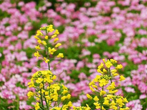 菜の花と蓮華