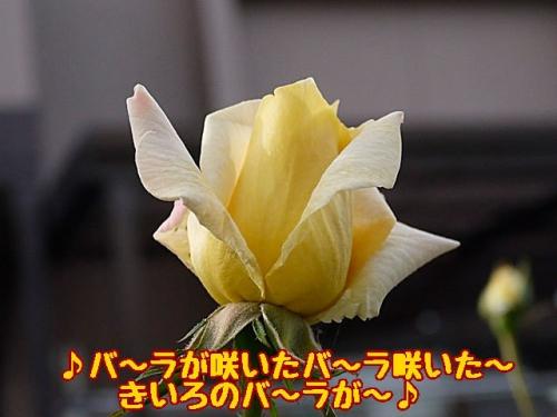 黄色のバラが
