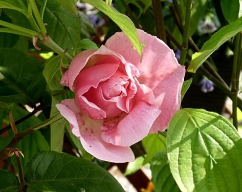今日はピンクのバラ