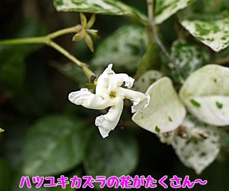 初雪カズラの花