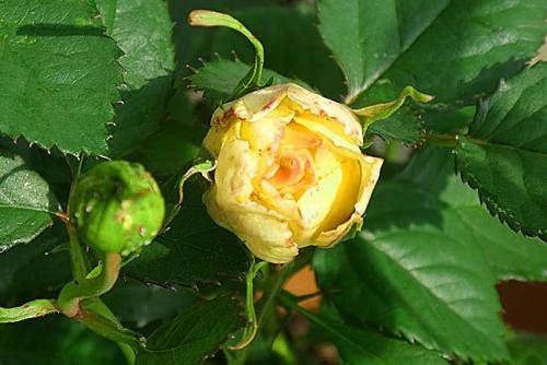 小さなバラだった