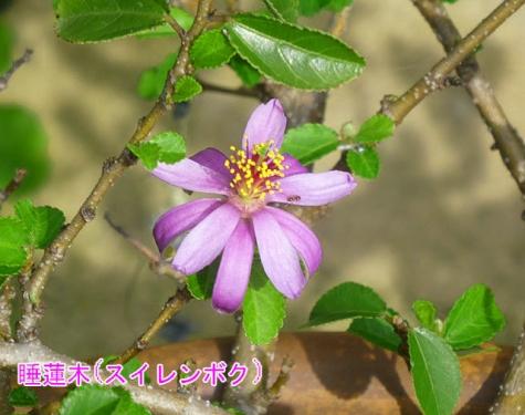 睡蓮木(スイレンボク)