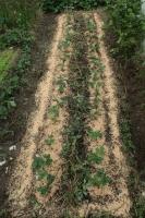 BL191026イチゴ植え付け2IMG_7741