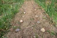 BL200326ジャガイモ植え1IMG_4108