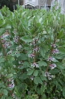 BL200330豆の花3IMG_4284