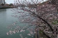 200330帰宅ライド桜3IMG_4260