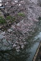 200330帰宅ライド桜2IMG_4278