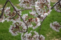 BL200403芦屋の桜1IMG_4334