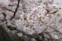 BL200403芦屋の桜3IMG_4321