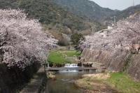 BL200403芦屋の桜2IMG_4335