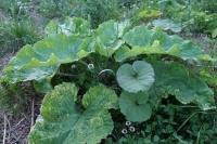 BL200428トマト植え付け3IMG_4445