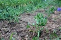 BL200428トマト植え付け1IMG_4449