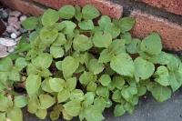 BL200514植え込み野菜3IMG_4385