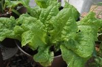 BL200514植え込み野菜1IMG_4390