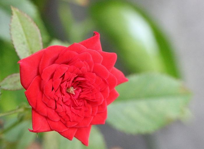 ミニバラ赤色 1 10 8