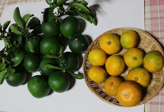 普通の蜜柑と一緒に 摘果春蜜柑 1 10 22