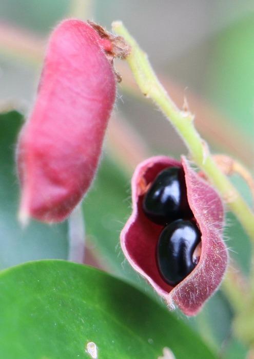 痰切豆の黒い種 縦に 1 10 26