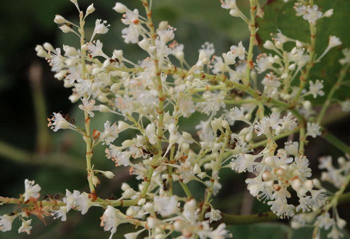 イタドリの花 1 10 15