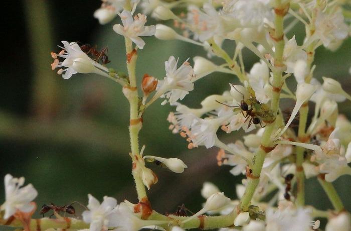蟻とイタドリの花と 爺神山 1 10 15