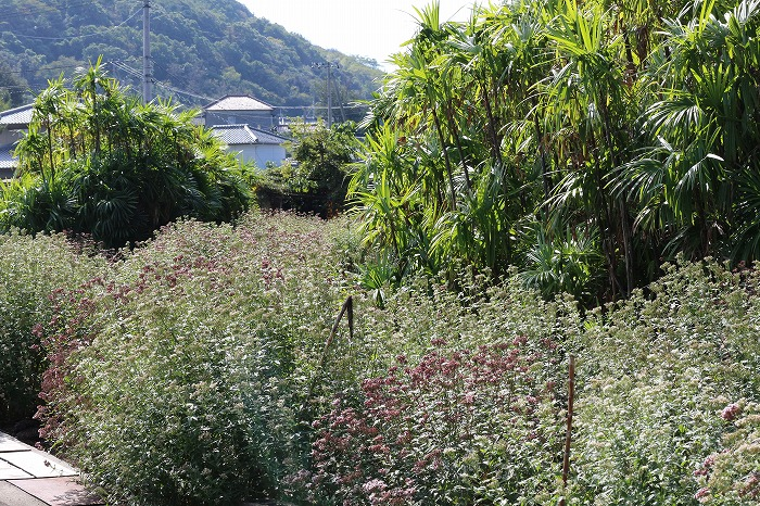 藤袴の花畑 沓脱八幡神社横 1 10 31