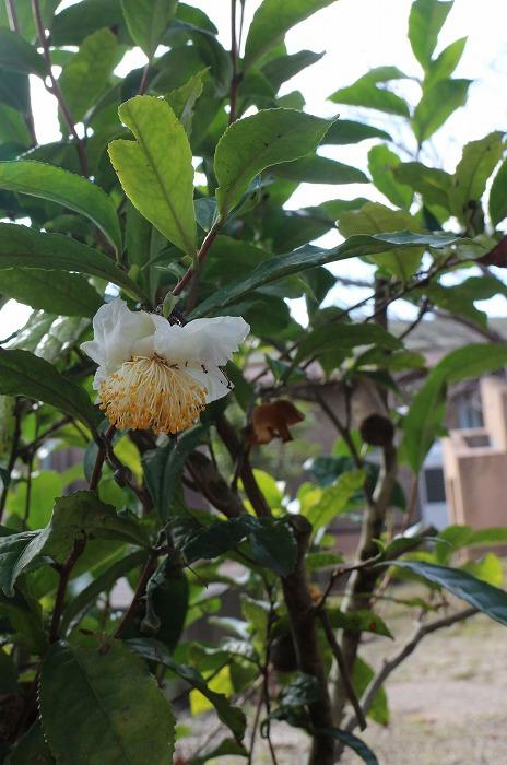 お茶の花 1 11 4