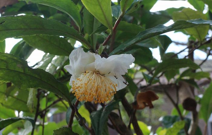お茶の花と蟻たち 1 11 4