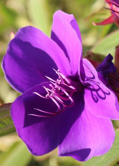 紫紺野牡丹 縦に撮る 1 11 12