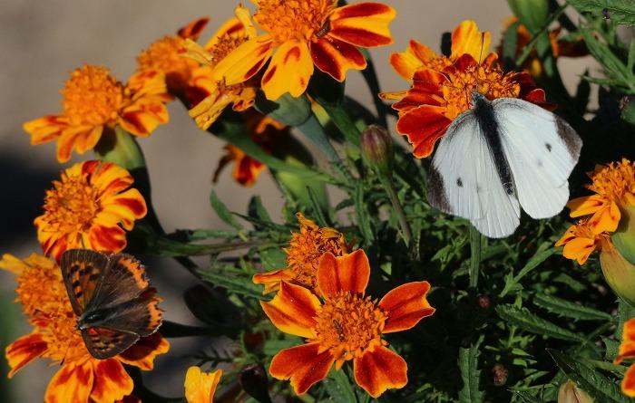マリーゴールドに白い蝶 仁尾 1 11 12