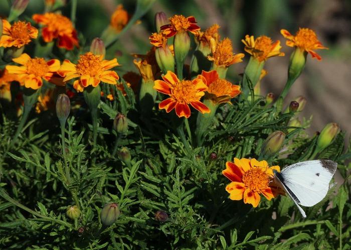 紋白蝶 藤袴園でマリーゴールドの花に 1 11 12