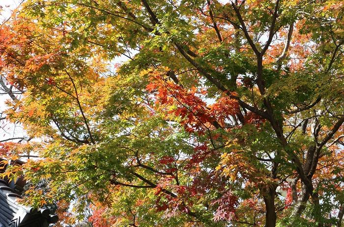 西教寺の楓の紅葉 緑もある 1 11 19