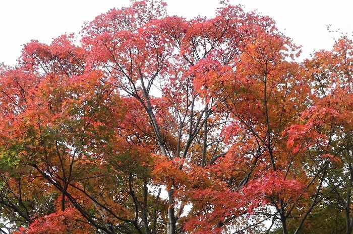 大きな楓の木 紅葉 1 11 19
