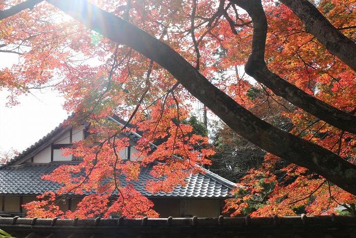 楓の木右から左へと紅い葉と 1 11 19
