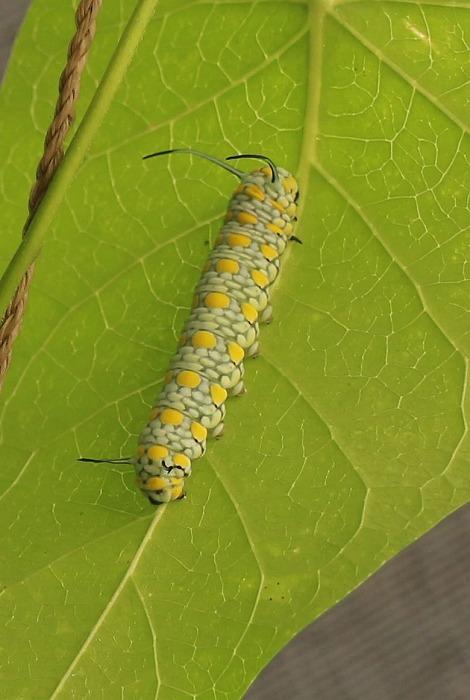 浅葱斑の幼虫仁尾の庭 1 11 25