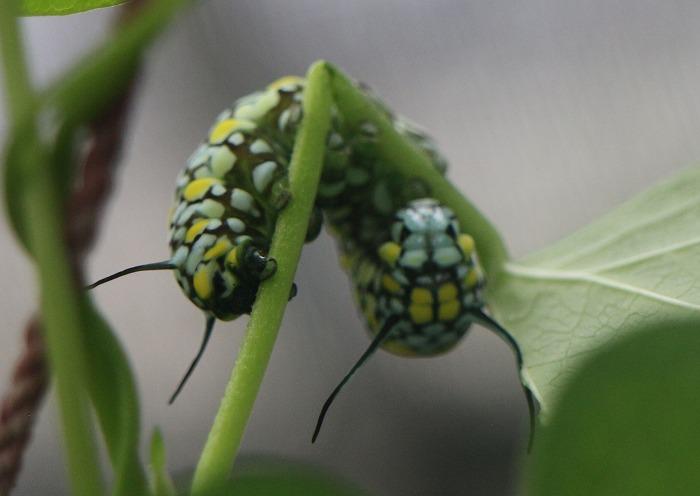 ぐるりと茎に巻き付いてる幼虫 緑 1 11 25