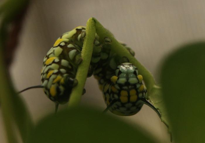茎も食べてる幼虫黄緑 1 11 25